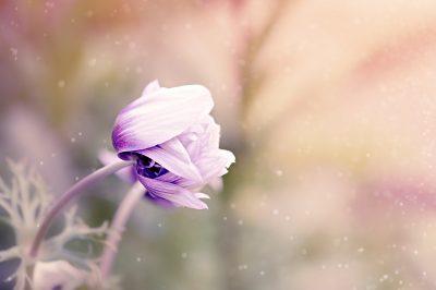 anemone-1533515_1920